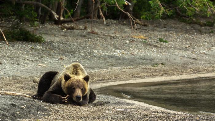 Медведи Кроноцкого заповедника будут взвешиваться самостоятельно